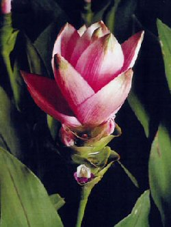 Curcuma Image