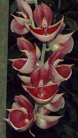 http://image.gardening.eu/appartamento/singolepiante/orchidee/Catasetum/cataset.jpg