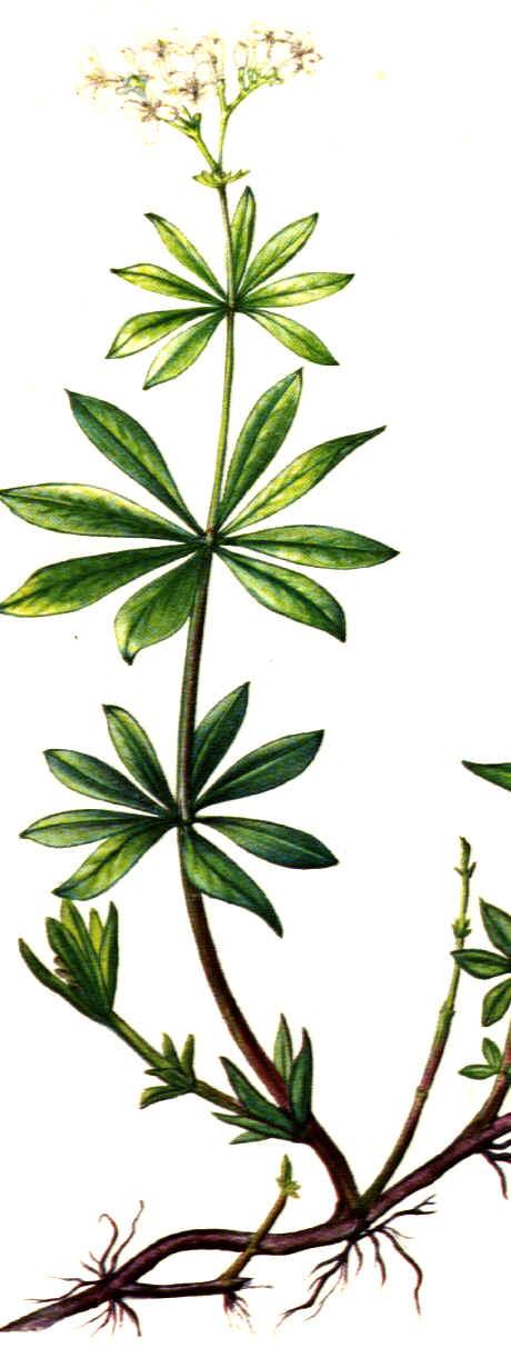 Asperula odorata - Medicinal plants - Rubiaceae garden