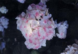 Ortensia hydrangea macrophylla emile moiullere
