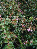 Abelia rupestris - Großblütige Abelie