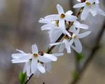 Abeliophyllum distichum - Schneeforsythie, Weiße Forsythie