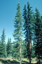 Abies arizonica - Kork-Tanne, Rocky-Mountains-Tanne