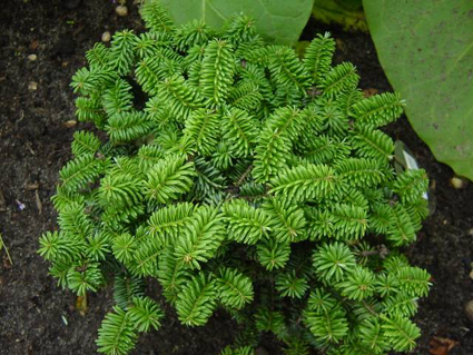 Photos Abies balsamea - Balsam fir