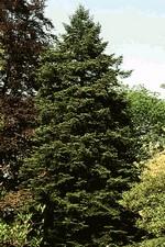 Abies cephalonica - Griechische Tanne