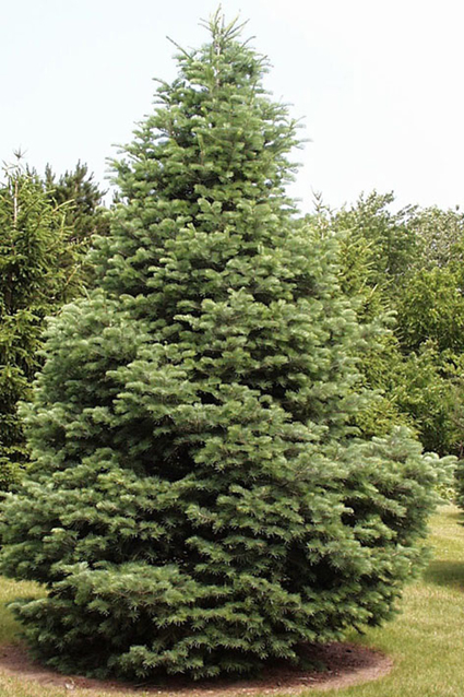 Photos Abies concolor - White fir