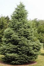 Abies concolor - Grau-Tanne, Kolorado-Tanne