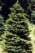 Abies fraseri - Frasers Tanne