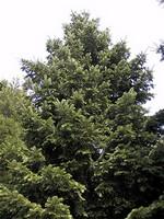 Abies grandis - Küsten-Tanne, Riesen-Tanne