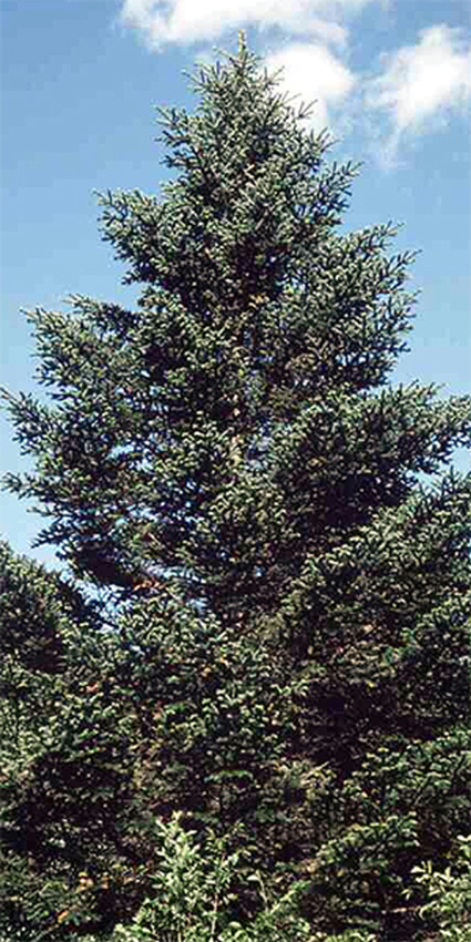 Photos Abies holophylla - White fir