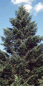 Photos Abies holophylla