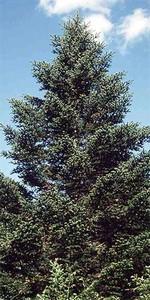 Abies holophylla - Ganzblättrige Tanne