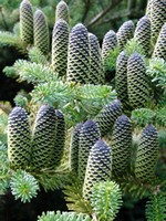 Photos Abies koreana