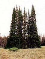Abies lasiocarpa - Grau-Tanne, Kolorado-Tanne Glauca
