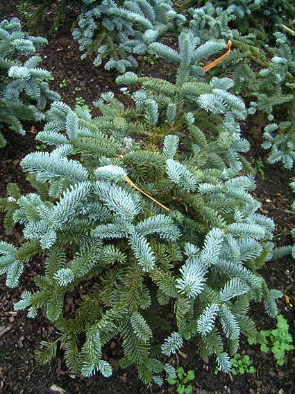 Photos Abies nobilis - White fir