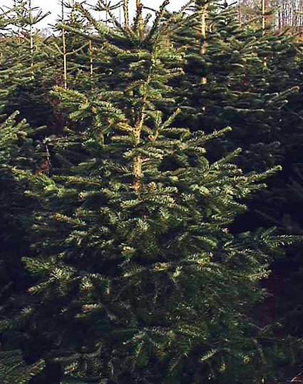 Photos Abies nordmanniana - Fir
