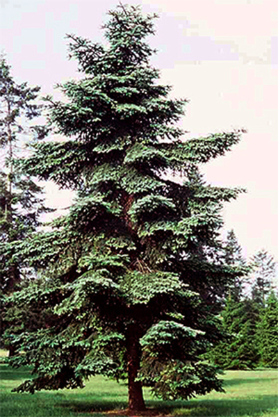 Photos Abies numidica - White fir