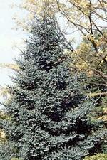 Abies pinsapo - Blaugrüne Spanische Tanne Glauca