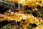 Fotos Acer carpinifolium