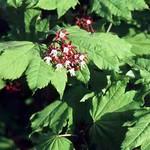 Fotos Acer circinatum