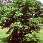 Fotos Acer cissifolium