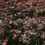 Fotos Acer palmatum