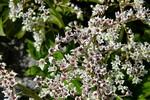 Fotos Aceriphyllum rosii