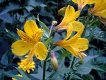 Alstroemeria aurea - Inkalilie Orange King
