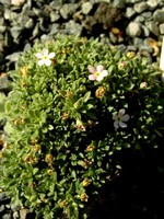 Fotos Androsace aventoides