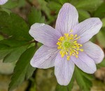 Anemone nemorosa - Buschwindr�schen Heavenly Blue