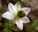 Anemone nemorosa - Buschwindr�schen Green Dream