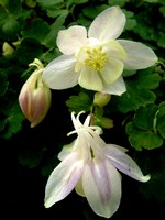 Photos Aquilegia flabellata