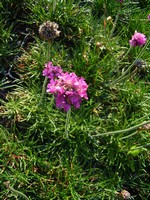 Photos Armeria maritima