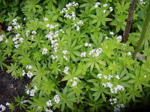 garden - Asperula odorata