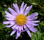 Photos Aster alpinus