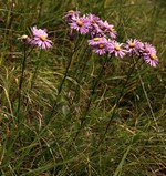 Fotos Aster biflora