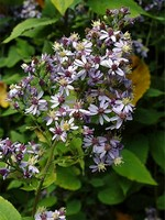 Photos Aster divaricatus