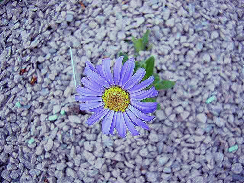 Photos Felicia rosulata - Blue daisy