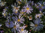 Photos Aster pyrenaica