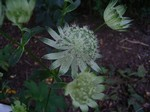 Astrantia major - Gro�e Sterndolde Canneman