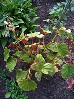 Begonia grandis var. evansiana - Japanisches Schiefblatt, Stauden-Begonie Alba