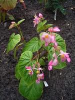 Begonia sinensis - Japanisches Schiefblatt, Stauden-Begonie
