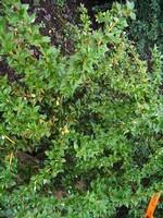 Berberis thunbergii - Blut-Berberitze Apricot Queen