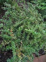 Berberis gagnepainii var. lanceifolia - Immergrüne Lanzen-Berberitze