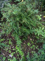 Berberis gagnepainii - Immergrüne Lanzen-Berberitze Klugowski