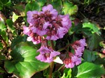 Photos Bergenia cordifolia
