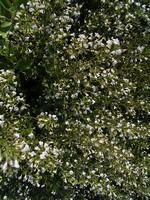 Calamintha grandiflora - Großblütige Bergminze, Kölme