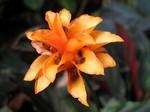 Calathea crocata -