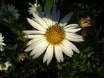Kalimeris integrifolia - Schönaster