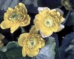 Caltha palustris - Sumpfdotterblume Multiplex